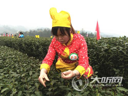"""四川特早茶""""第一芽""""在泸州纳溪开始采摘"""