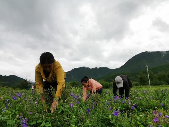 """泸沽湖""""爱情小镇"""":紫色花海助农脱贫"""