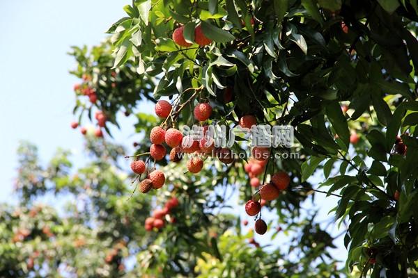 荔枝树架接技术的步骤